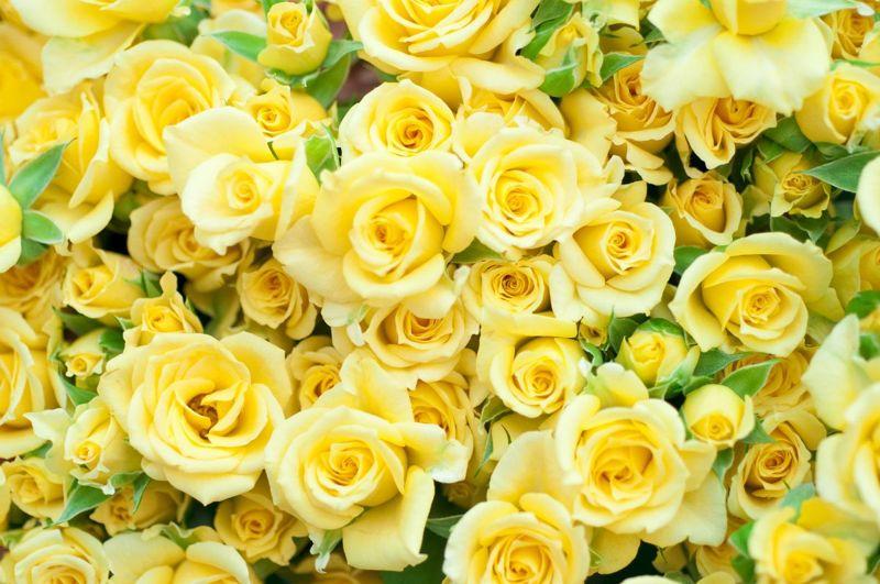 yellow rose bright bush