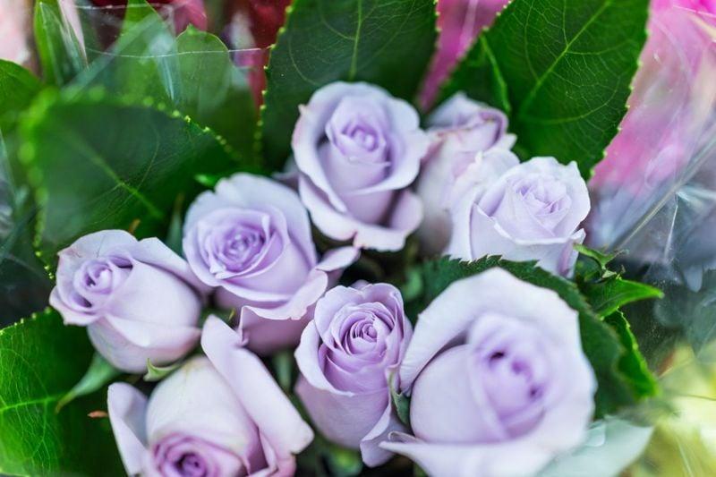 closeup lavender roses