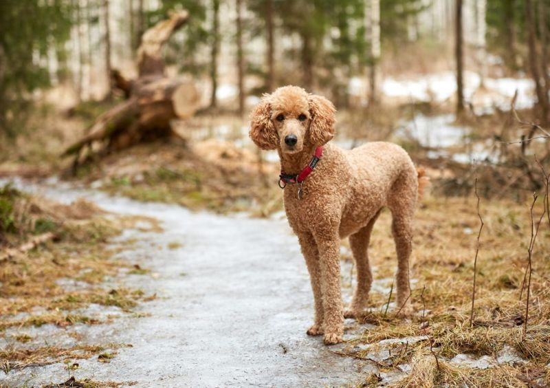 Poodles are smart and independent
