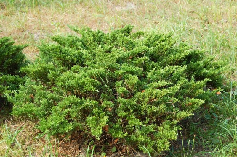 chamaecyparis false cypress
