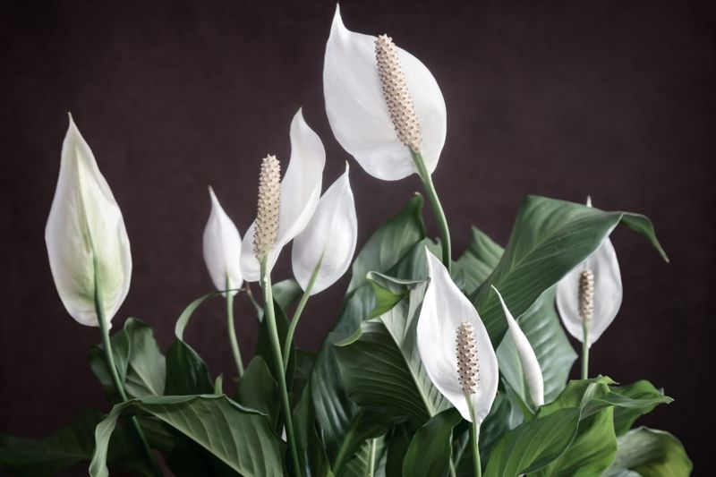 Peace Lily Humid Light Watering