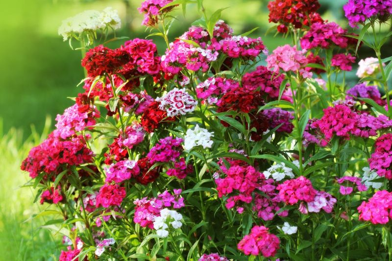dianthus blooms red colors