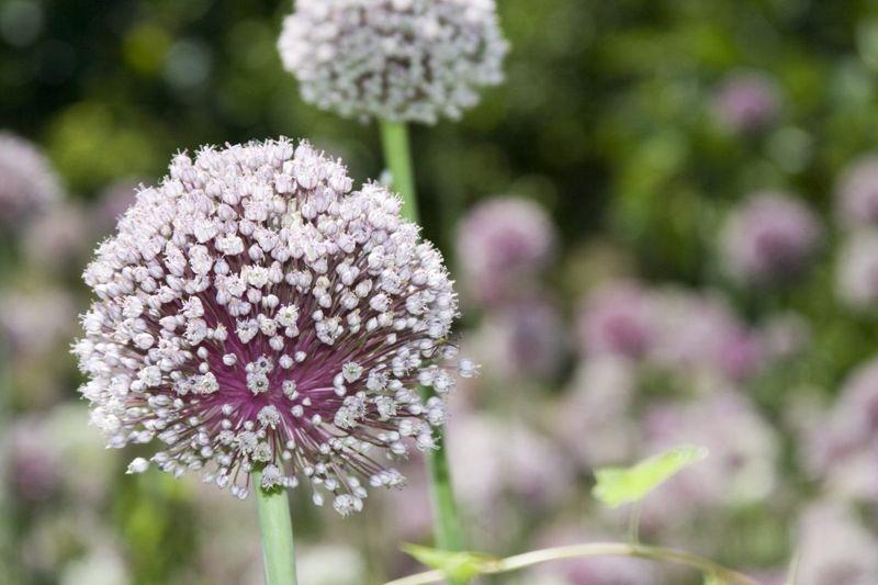 deter mosquitoes garlic flower