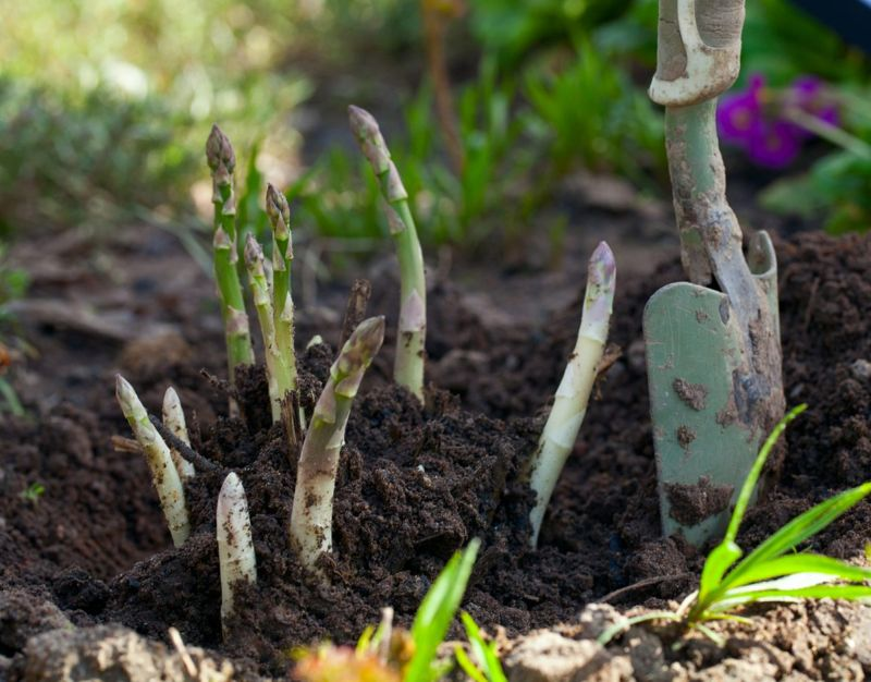 Asparagus Plant Outdoors Trench