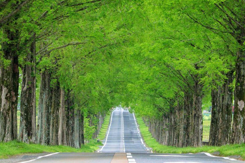 dawn redwood road trees