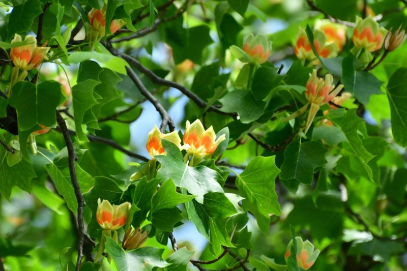 tulip tree leaves flowers