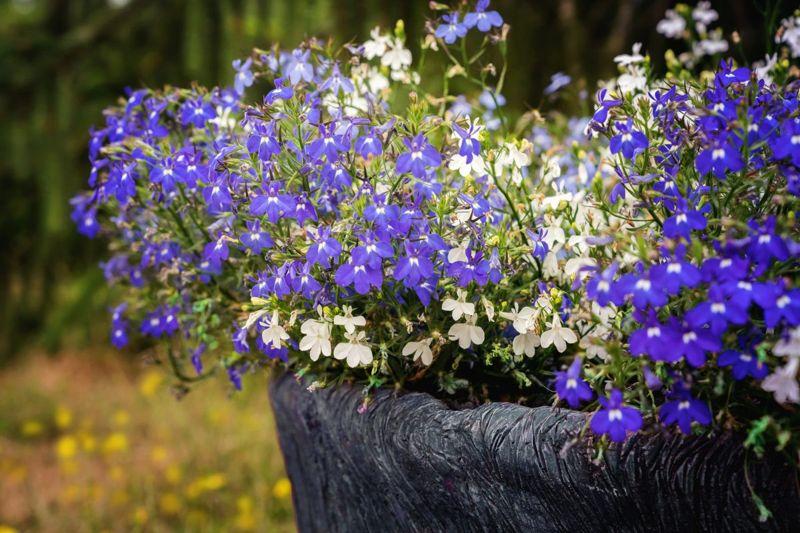 white blue lobelia pot
