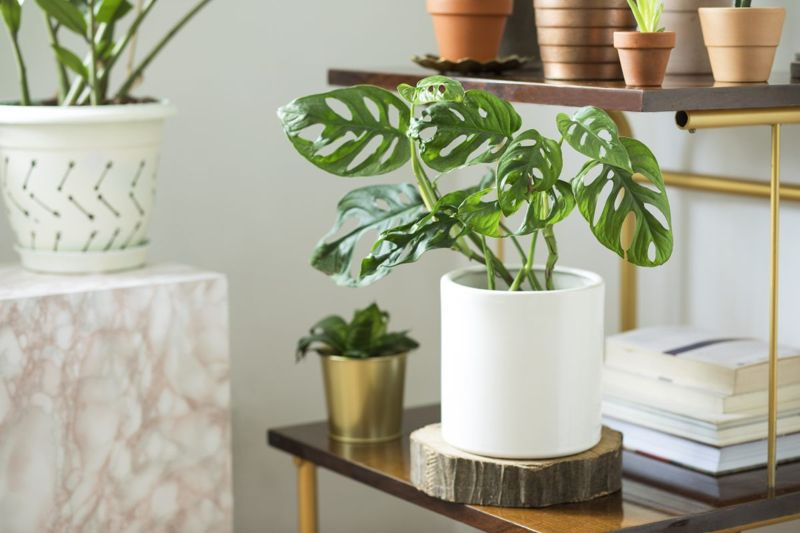 Monstera is trendy choice.