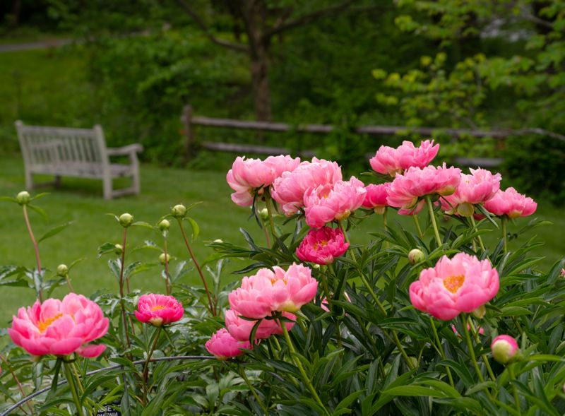 Photo of pink peony plants in bloom on a formal garden.