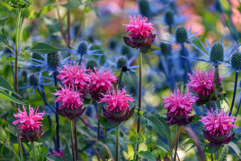 Garden close up of pink bee balm in bloom, with blue thistle in the background