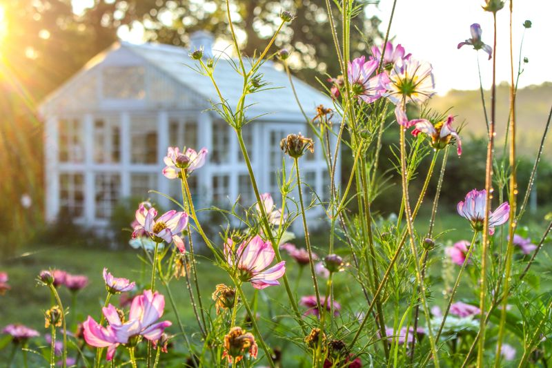 Beautiful Sunrise Garden Scene with Pink and White Cosmos Flowers in foreground and bokeh/blurred greenhouse in background, sun dappled selective focus