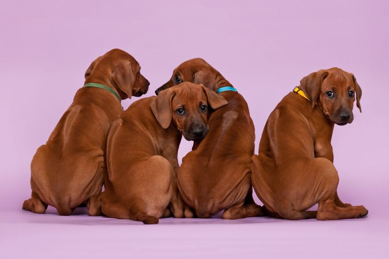 Group of four rhodesian ridgeback puppies dogs sitting in raw on violet background