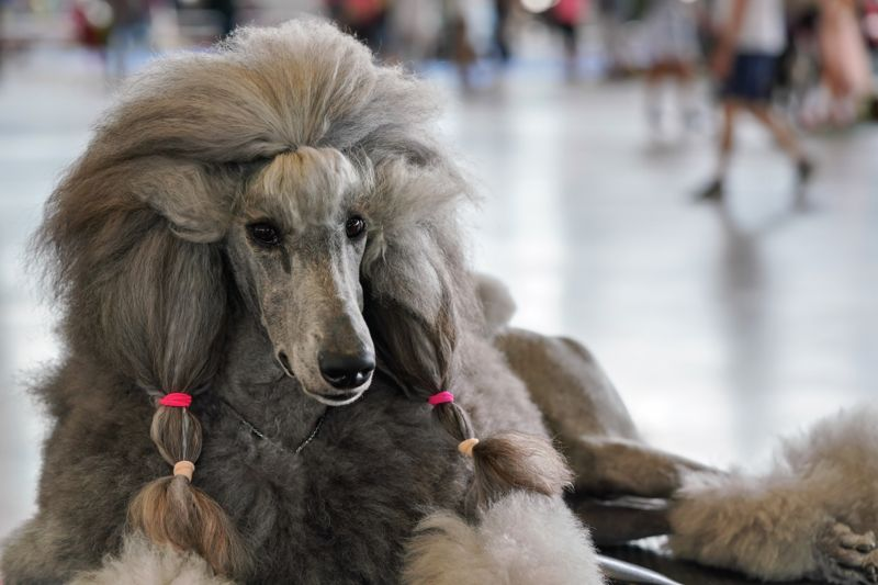 Large black grey poodle groomed before dog exhibition contest, pink rubber bands in hair.