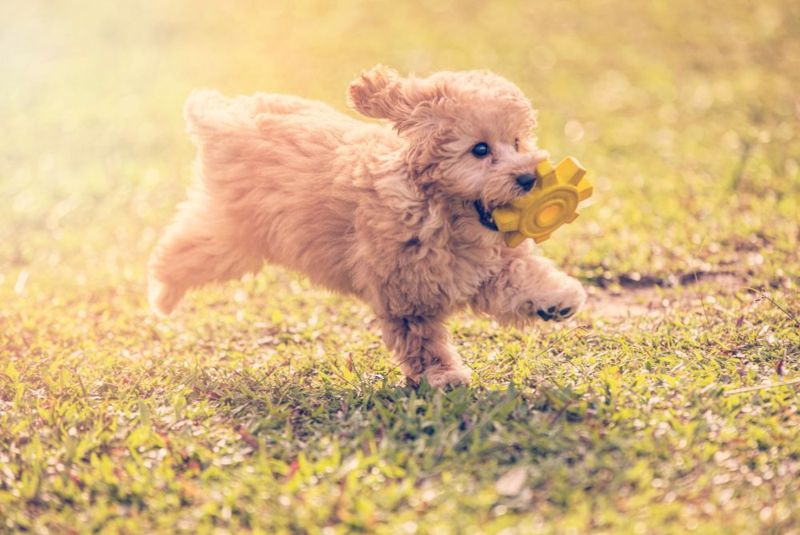 a toy poodle biting a soft rubber toy and running in public park