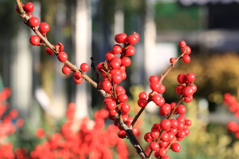 Beautiful ilex verticillata in sunny December