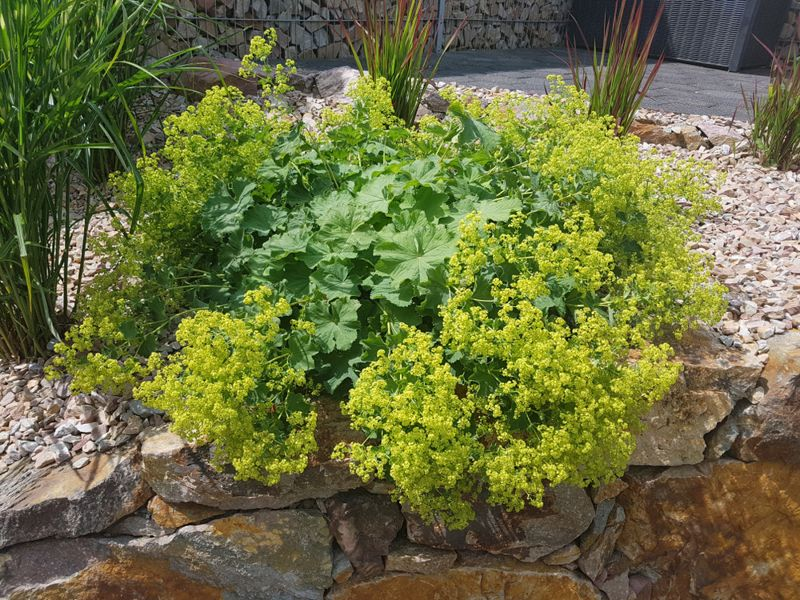 Lady's Mantle, Alchemilla xanthochlora, is a beautiful ground cover with green flowers.