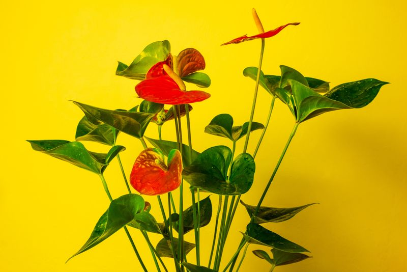 Flowering houseplant against bright yellow wall. Anthurium or flamingo flower in sunny interior.