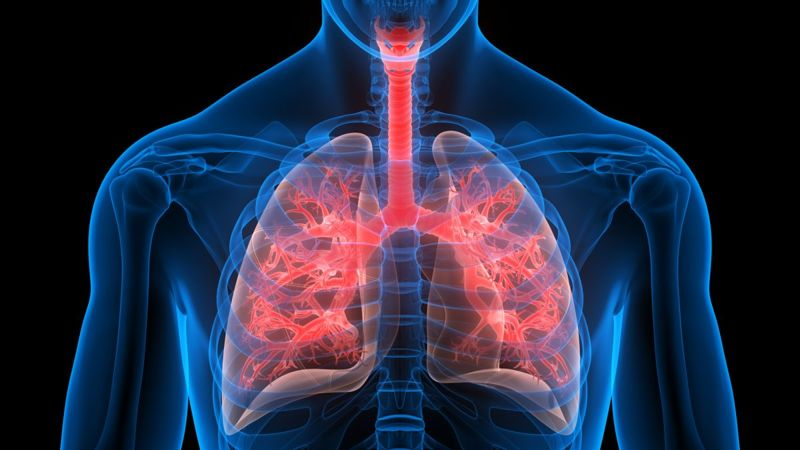 bronchioles lungs breathing