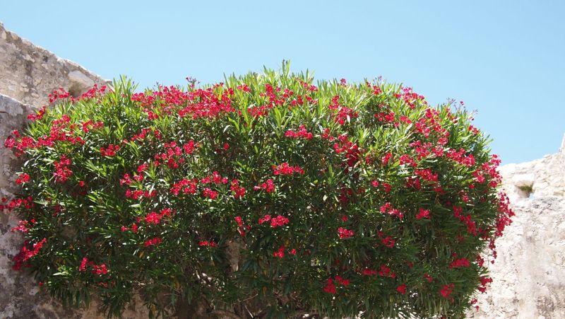 private hedge maturity shrub