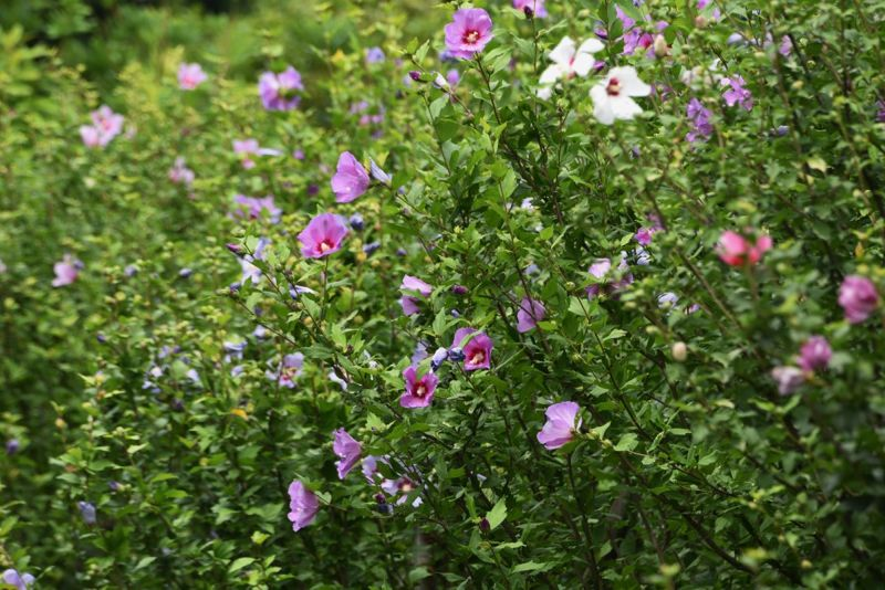 fuller shrub flowers sharon rose