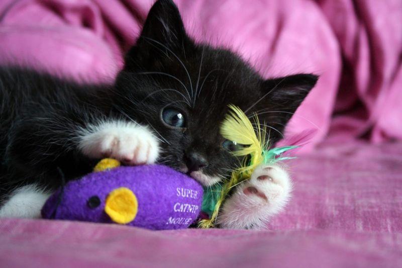 cat kitten playing