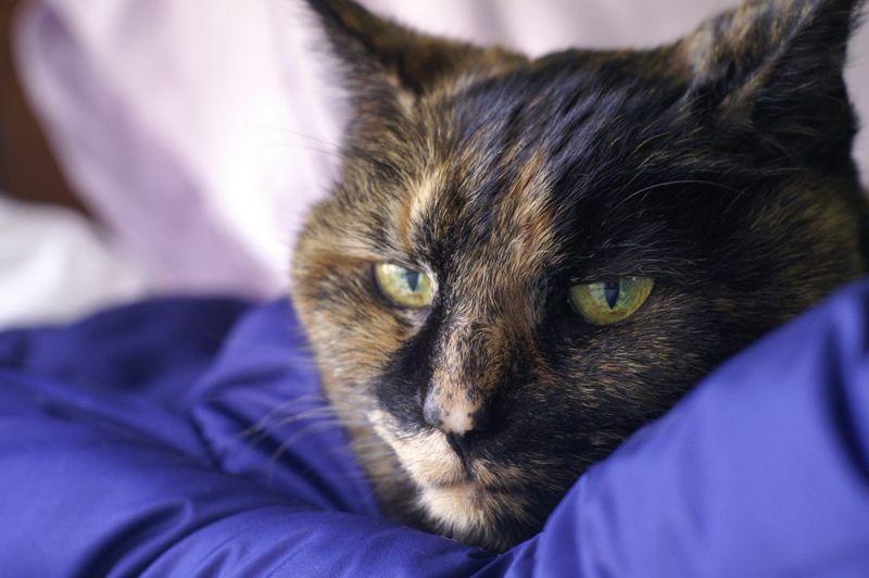 anemia weakness heart cat sick