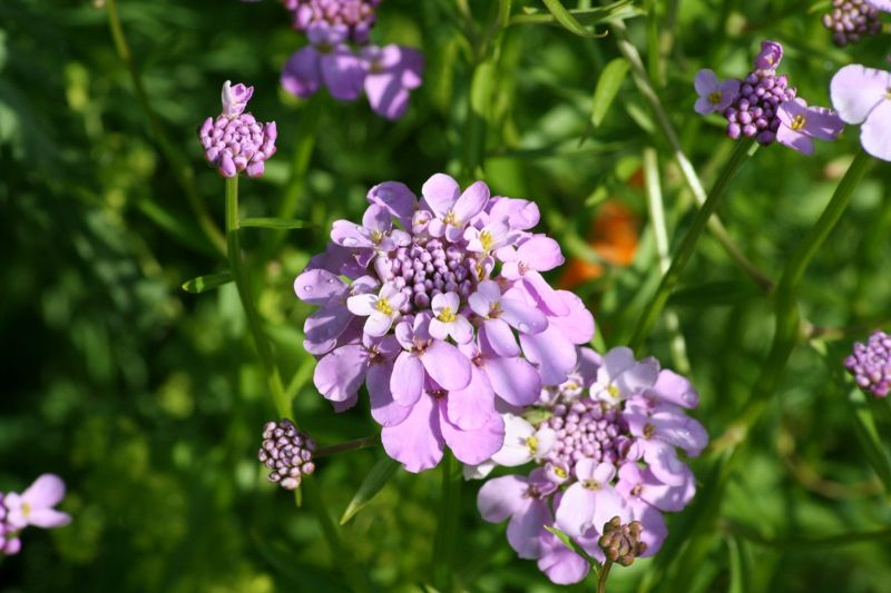 globes borders seed candytuft