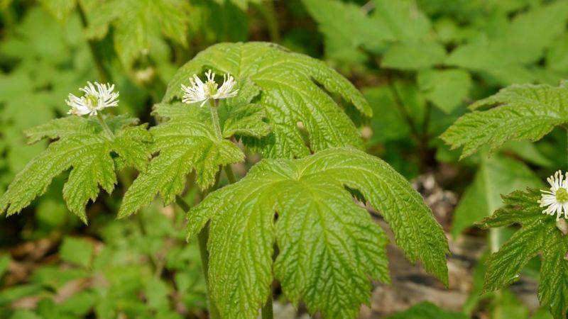goldenseal plant endangered flower
