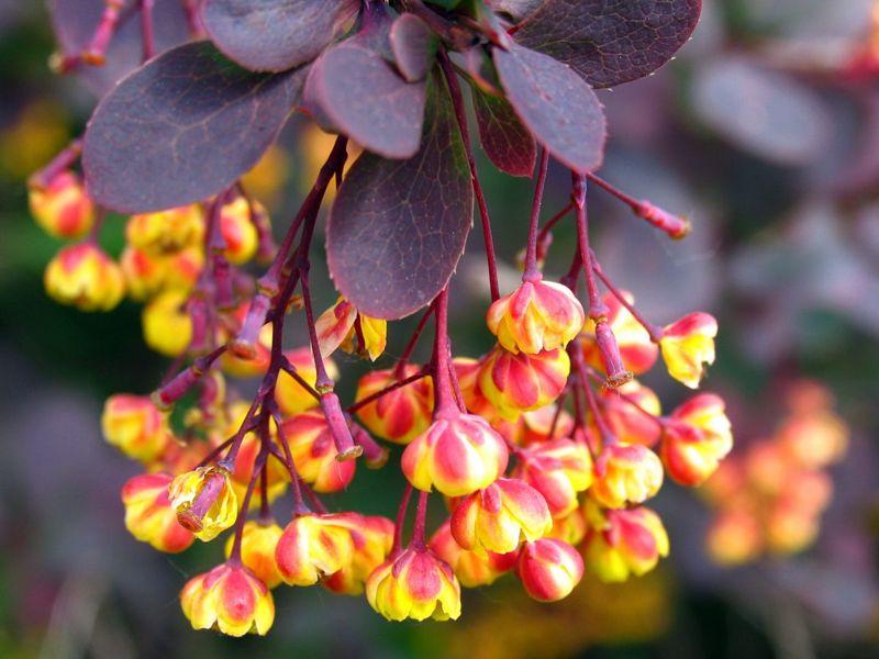 blooming berberis plants