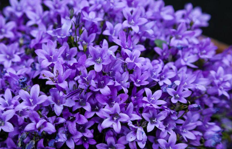 vigorous growers profuse leaves bellflowers