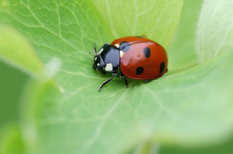 pests aphids frogs lady bug