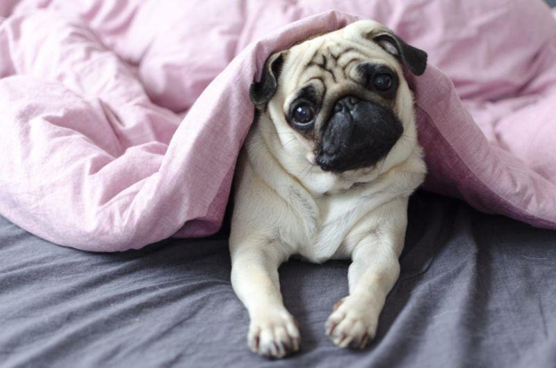 housemates adapt lifestyle pug