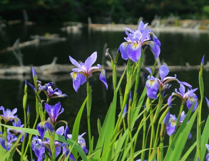 forests sepals dwarf iris