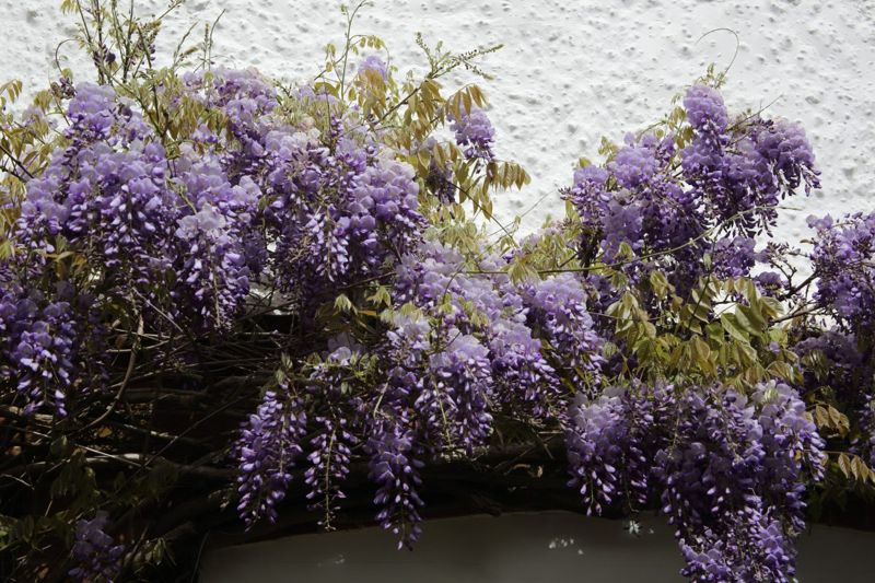 vines foliage clusters wisteria
