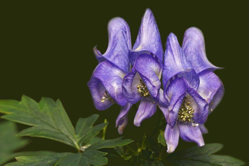 poisonous gardeners cone purple monkshood