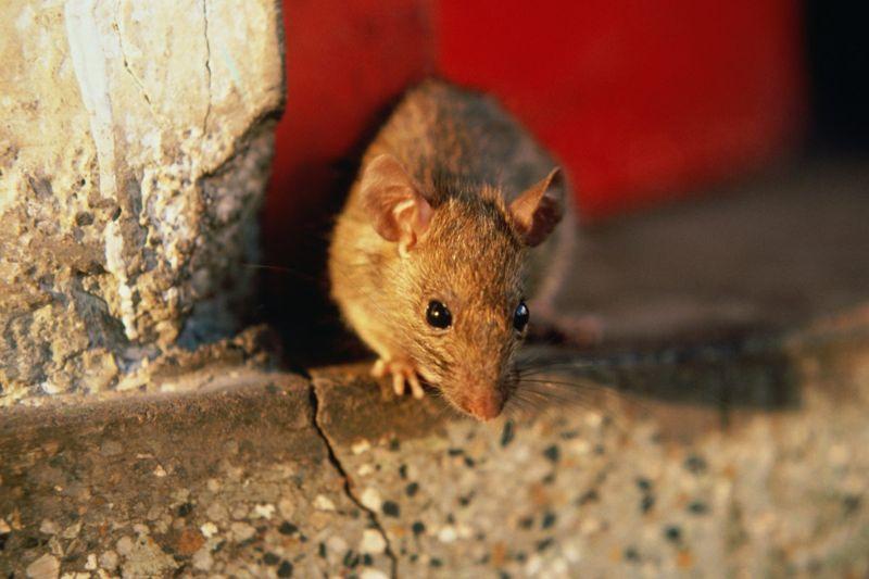 rats bubonic plague