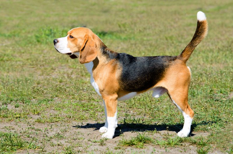 The tricolor Beagle stands on the grass in the park.