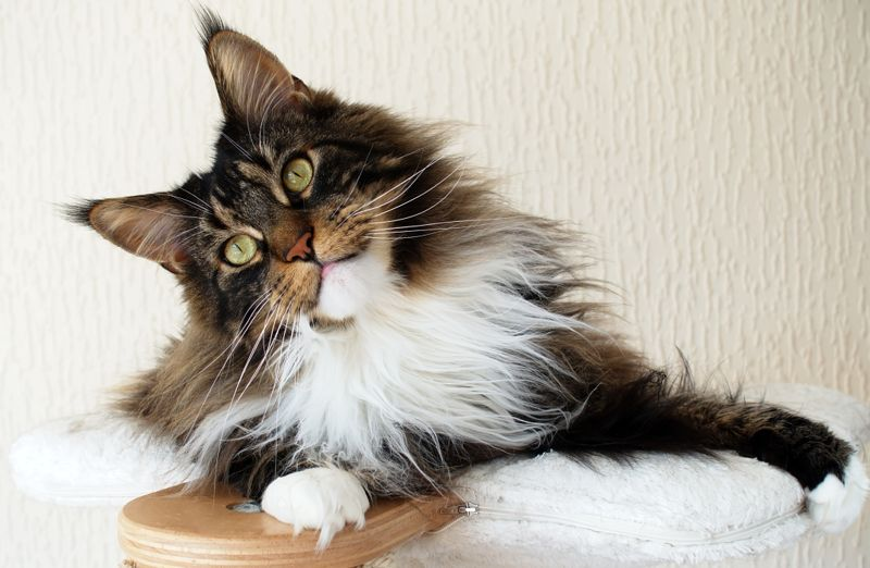 Brown tabby with white Maine Coon cat on top of his cat tree looking curious and sweet.