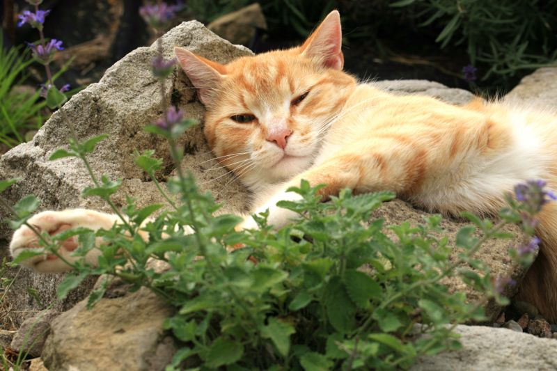 Ginger cat under the influence of catnip.