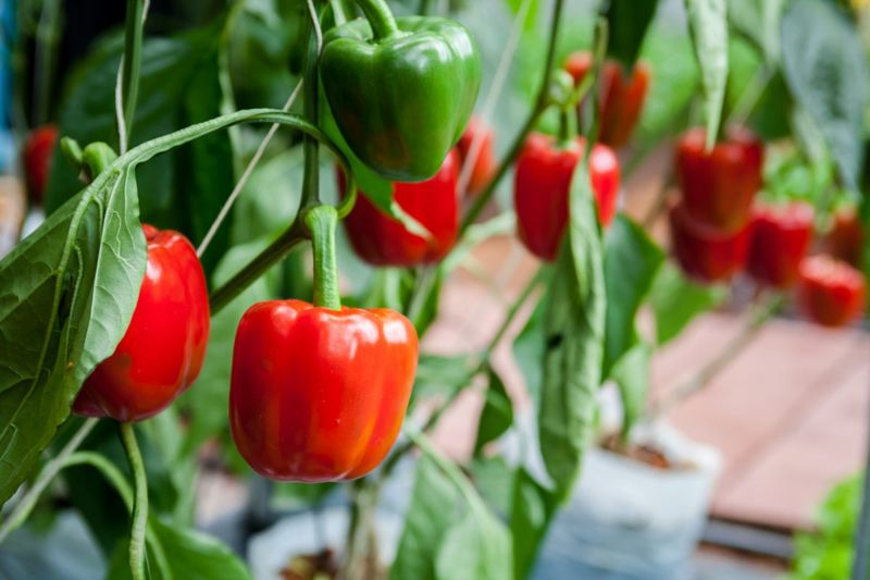 sweet red peppers growing
