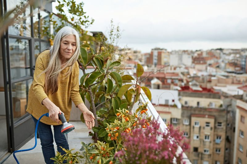 Front view of retired woman with long gray hair in casual clothing watering potted citrus fruit plant on Barcelona apartment balcony in late afternoon.