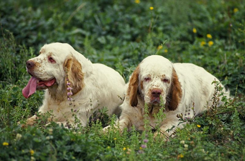 easygoing nature connecticut clumber spaniel