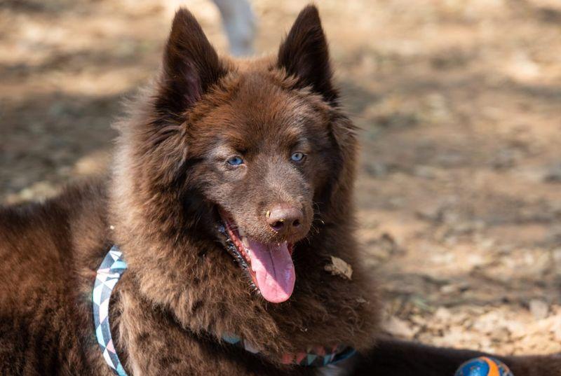 Pomsky mixed dog breed