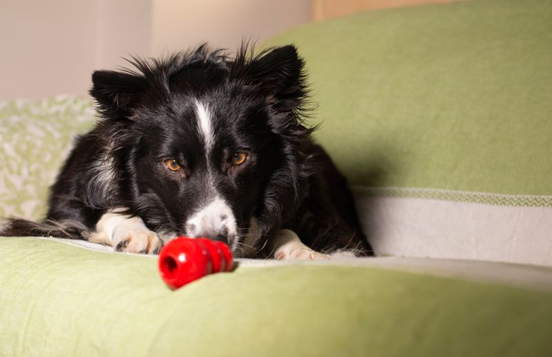 A beautiful border collie puppy stares at his Kong on the couch