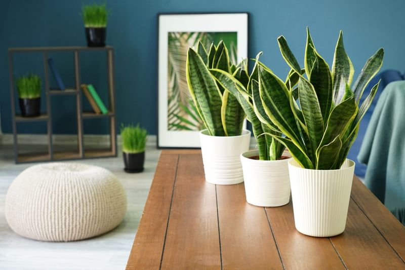 The snake plant is also known as the mother-in-laws tongue.