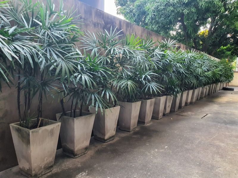 The broadleaf lady palm is an impressive looking houseplant.