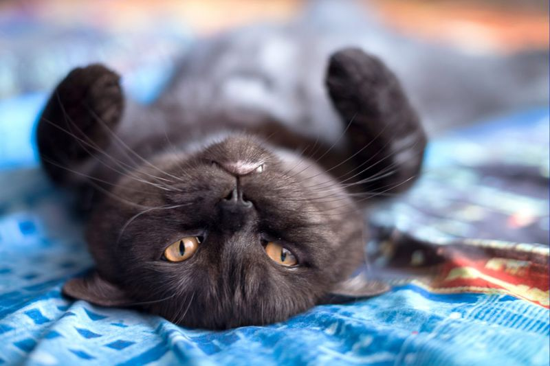 bored destructive cats indoors feline