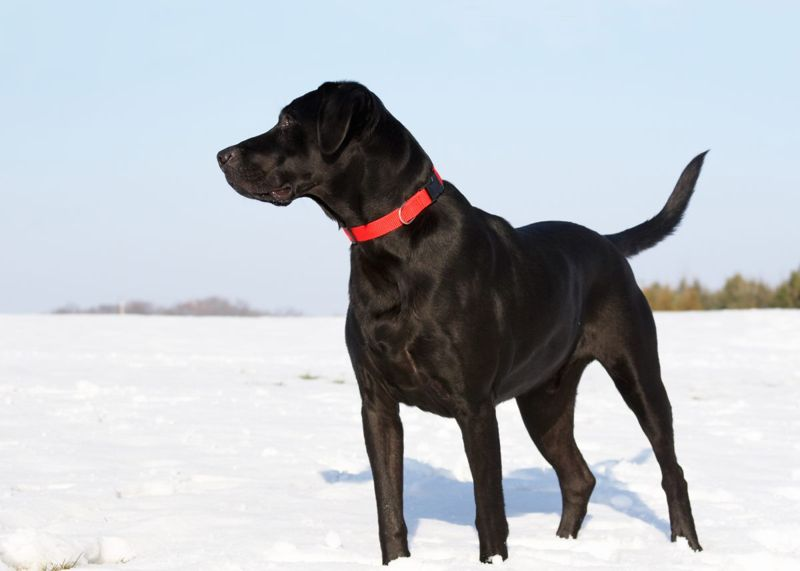 position erect horizontal tail canine