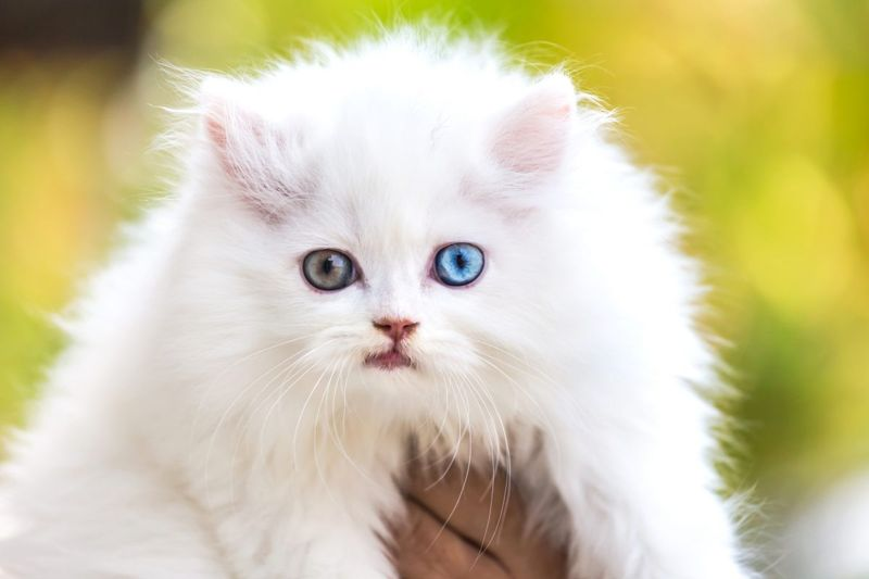 heterochromia, color, iris, ring