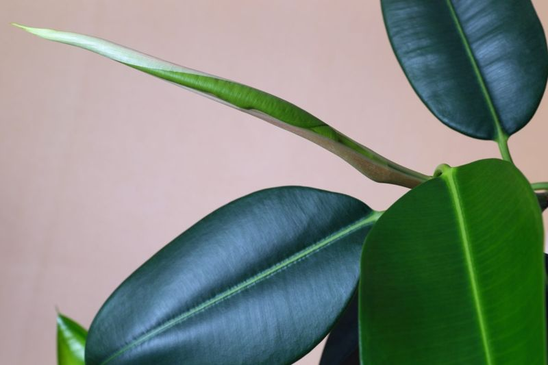 The ficus, or rubber plant, has large, attractive leaves.